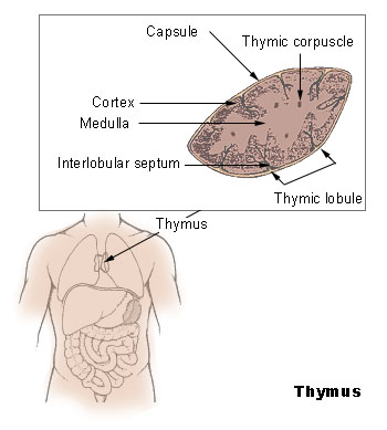 Slides_stat_methods_bioinf/Illu_thymus.jpg